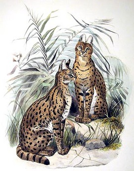 Serval alte Illustration